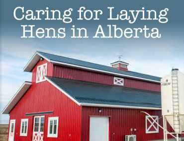Care_for_Laying_Hens-370x284